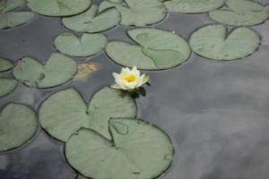 Водные растения с плавающими листьями