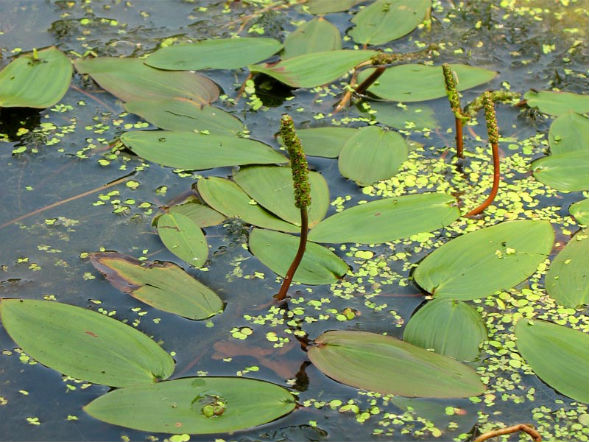 Рдест плавающий (Водяная капуста)