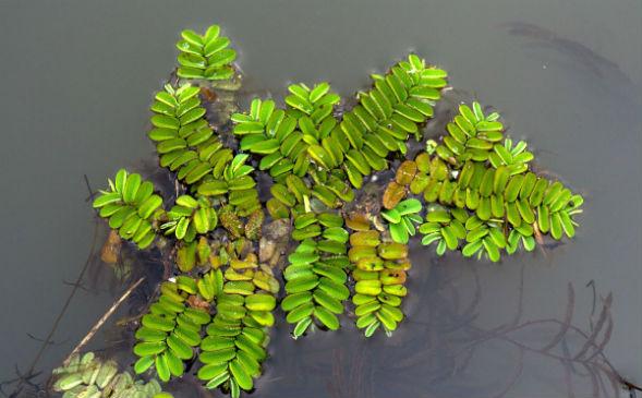 Сальвиния на поверхности воды