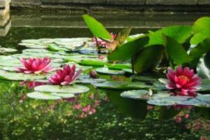 Свободноплавающие плавучие водные растения