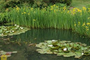 Водные растения для водоемов