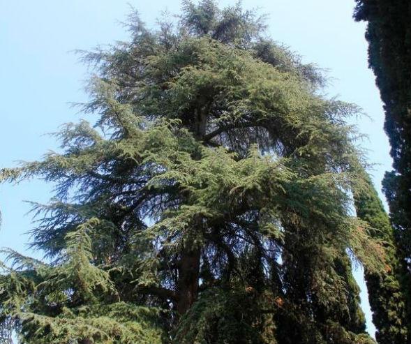 Дерево Пихты Алжирской или Нумидийской