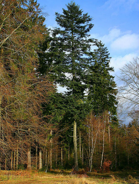 Дерево Пихты Белой (Европейской Гребенчатой)