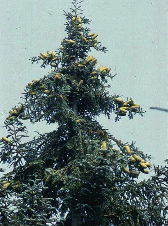 Дерево Пихты Благородной