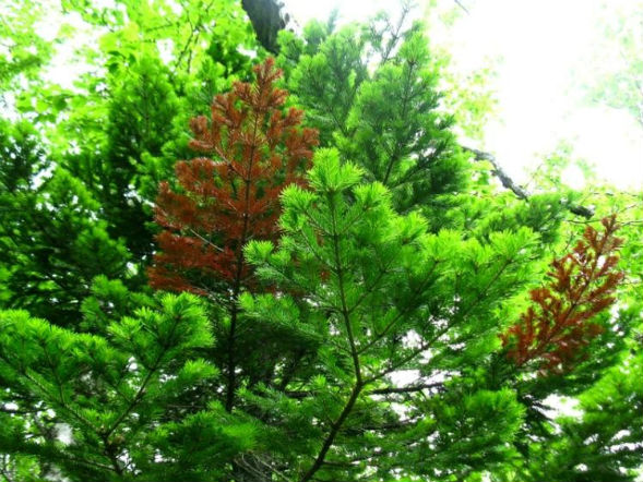 Дерево Пихты Камчатской