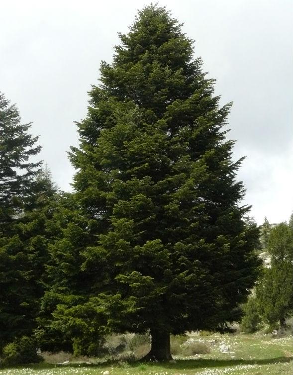 Дерево Пихты Киликийской