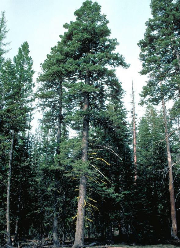 Дерево Пихты Одноцветной