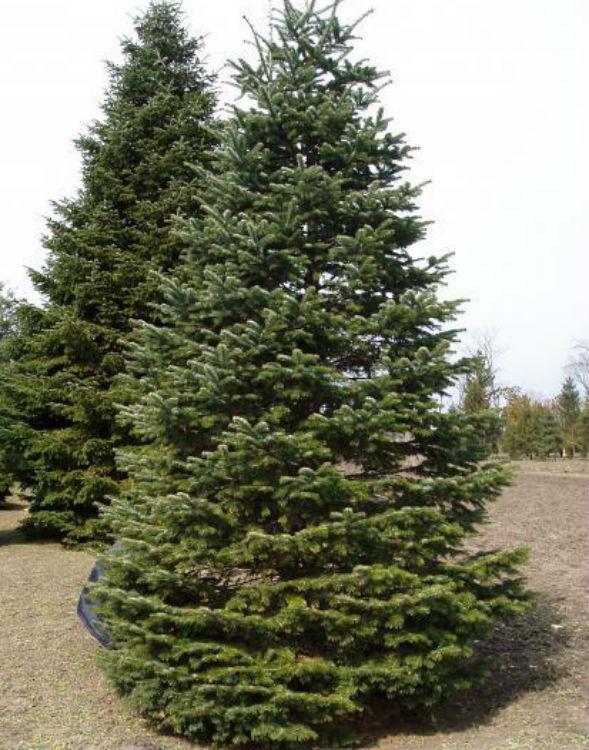 Дерево Пихты Сахалинской