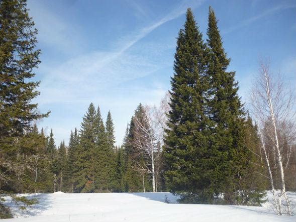 Дерево Пихты Сибирской