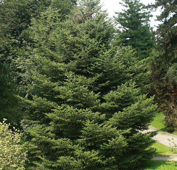 Дерево Пихты Цельнолистной