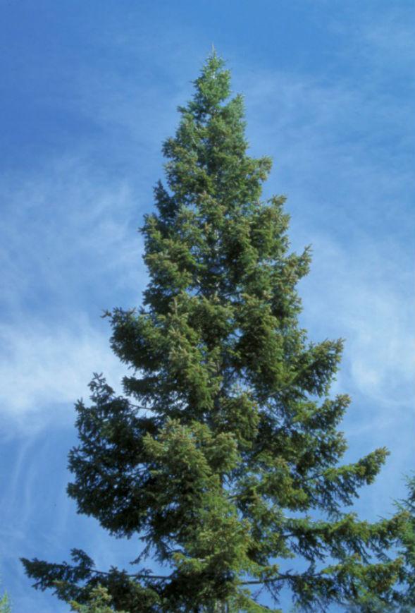 Дерево Пихты Великой