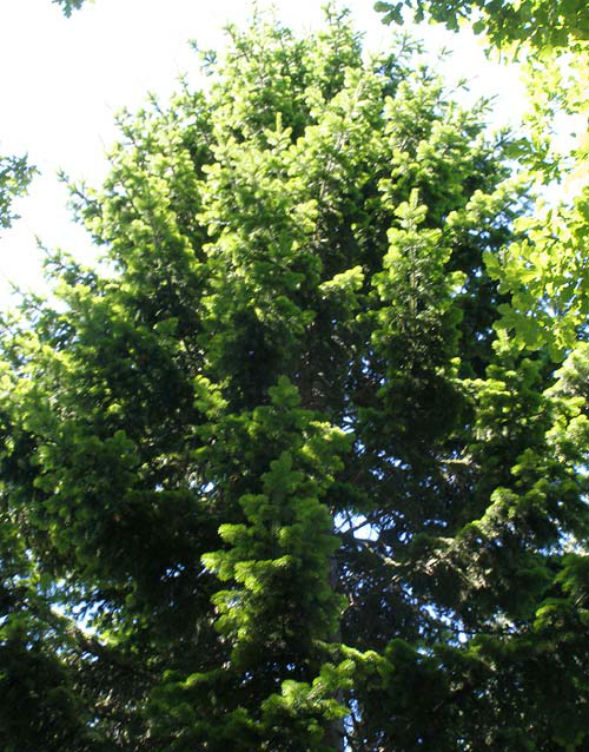 Дерево Пихты Семенова
