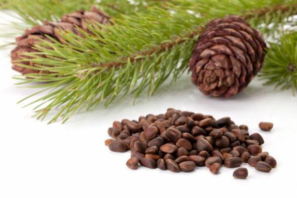 Семенное размножение вечнозеленых хвойных деревьев темнохвойных лесов - Ели, Сосны, Пихты