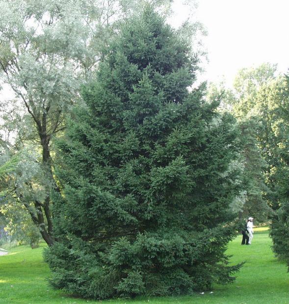 Дерево Ели Сибирской