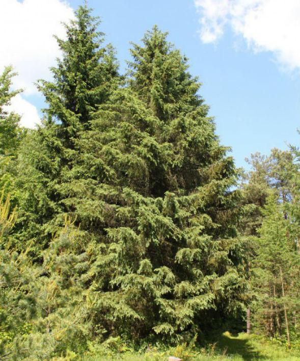 Дерево Ели Шренка Тянь-Шаньской