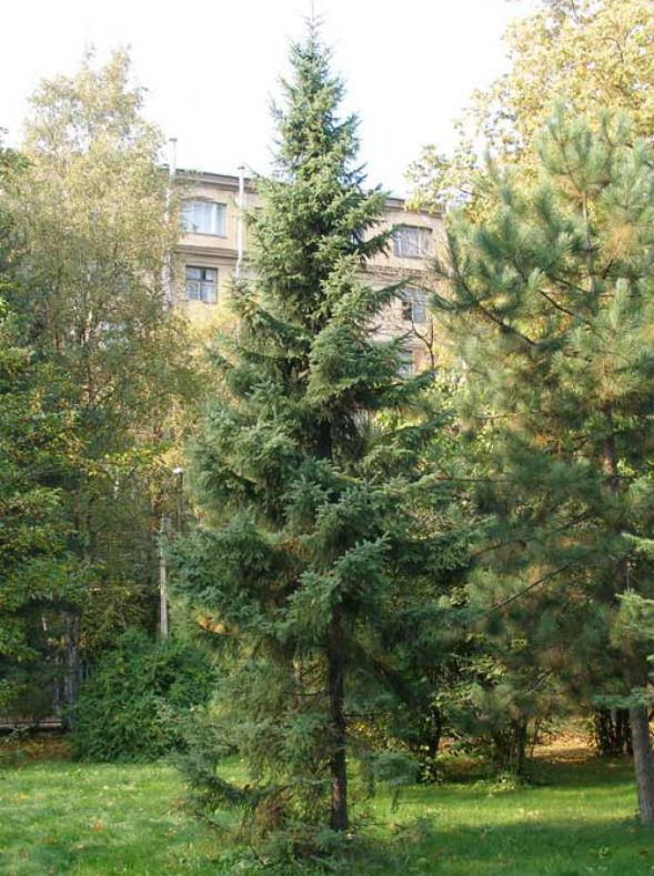Дерево Ели Черной