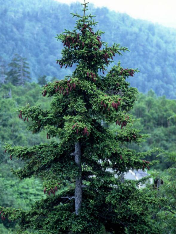 Дерево Ели Аянской Иезонской