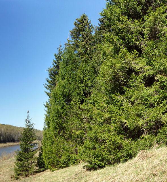 Дерево Ели Финской