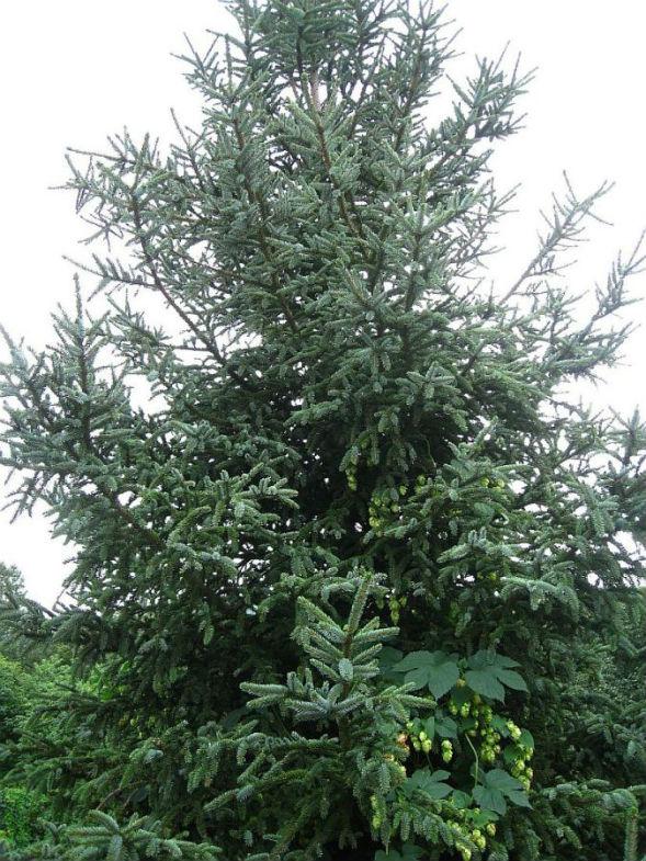 Дерево Ели Глена