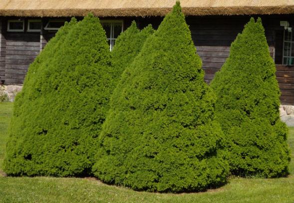 Дерево Ели Канадской