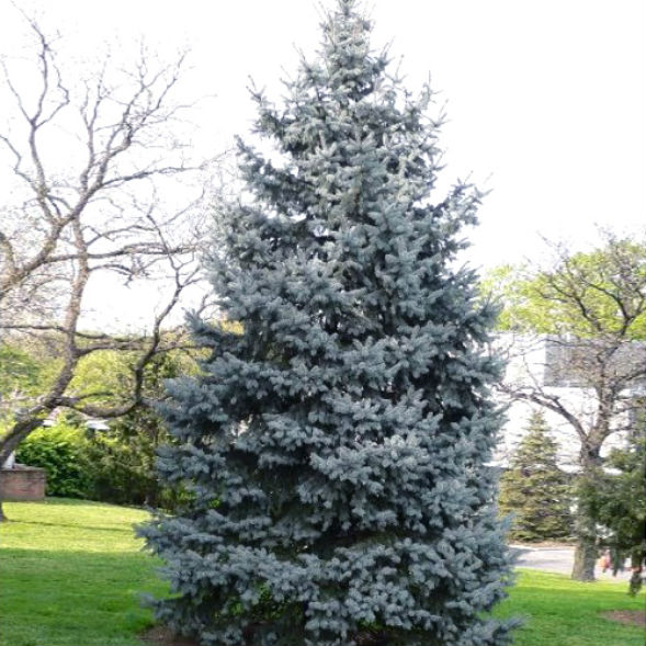 Дерево Ели Колючей