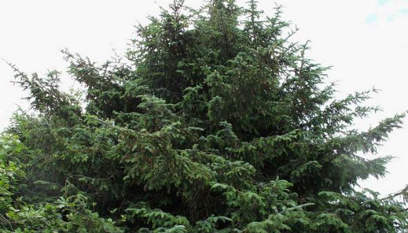 Дерево Ели Ситхинской
