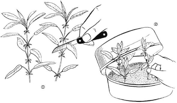 Размножение рододендронов черенкованием черенками