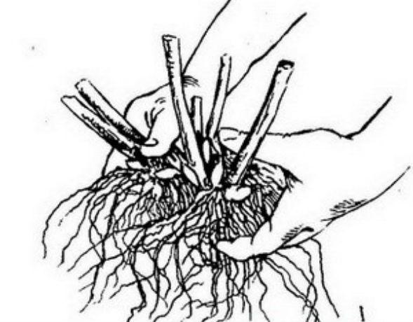 Размножение рододендронов делением куста