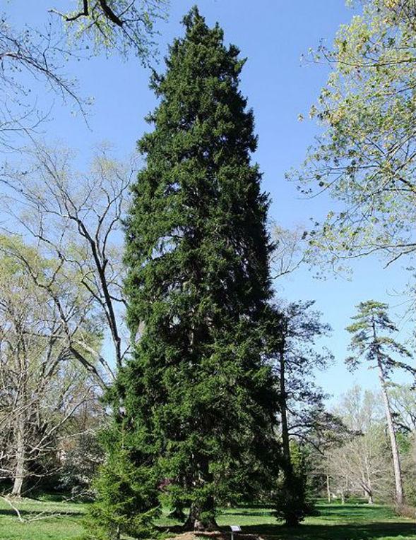 Дерево Ели Восточной