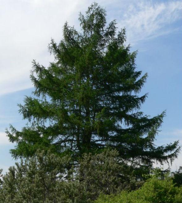 Дерево лиственницы гмелина или даурской