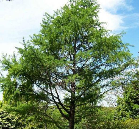 дерево лиственницы сибирской