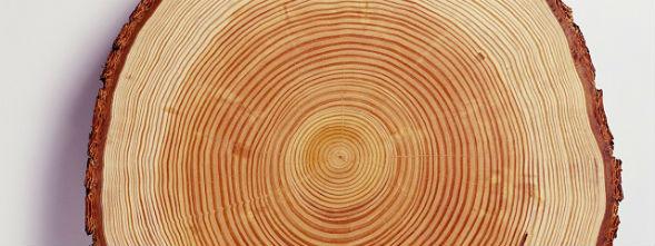 Спил, текстура дерева лиственницы сибирской