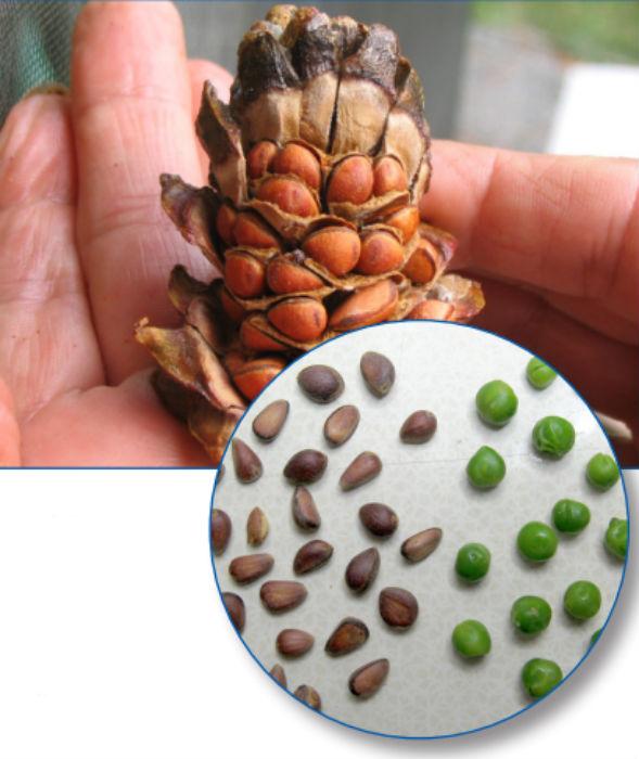 Шишки и семена сосны обыкновенной