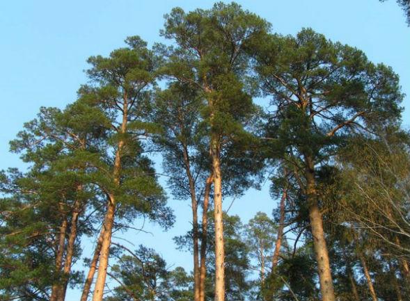 Дерево сосны обыкновенной