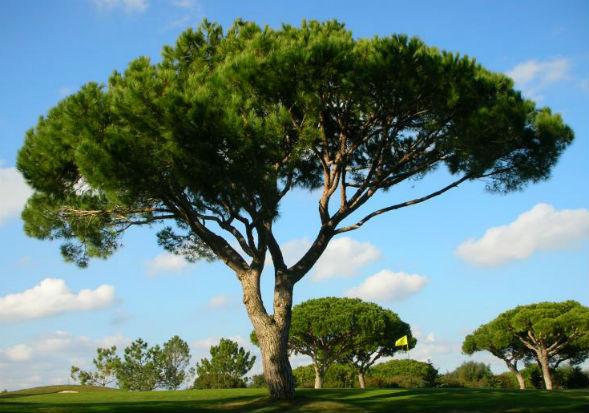 Дерево Сосны Итальянской Пинии