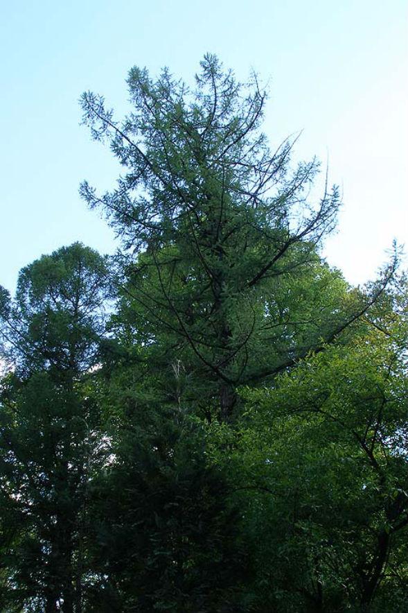 Дерево Лиственницы Любарского