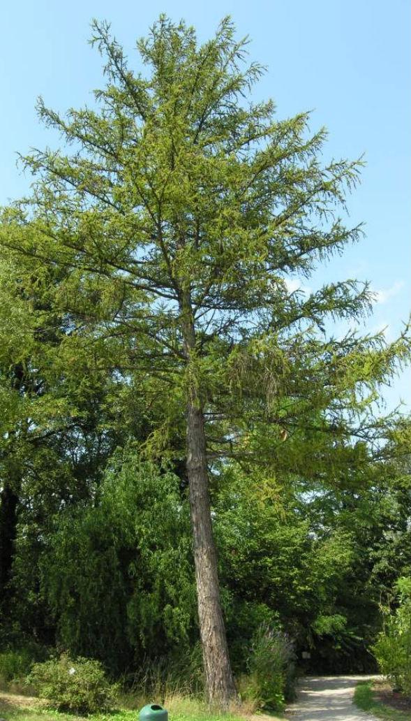 Дерево Лиственницы Сукачева