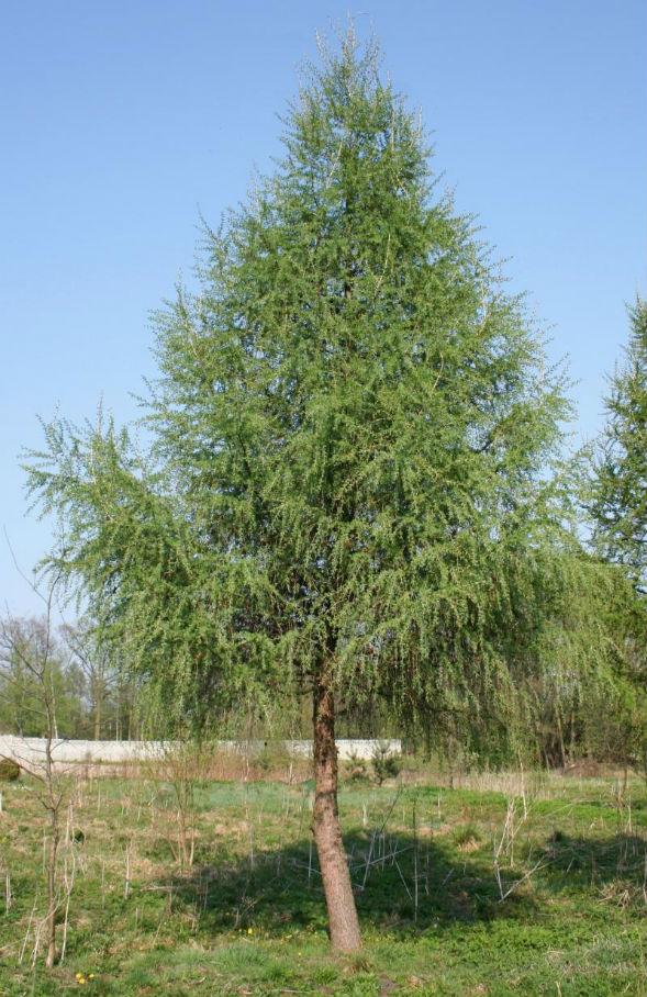 Дерево Лиственницы Ольгинской