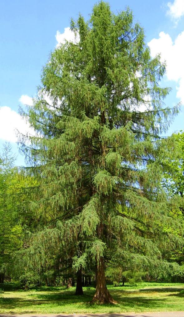 Дерево Модрини Європейської Обпадаючої