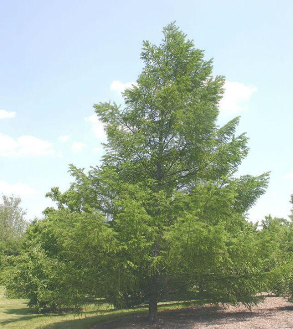 Дерево Лиственницы Приморской