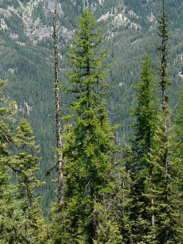 Дерево Лиственницы Западной