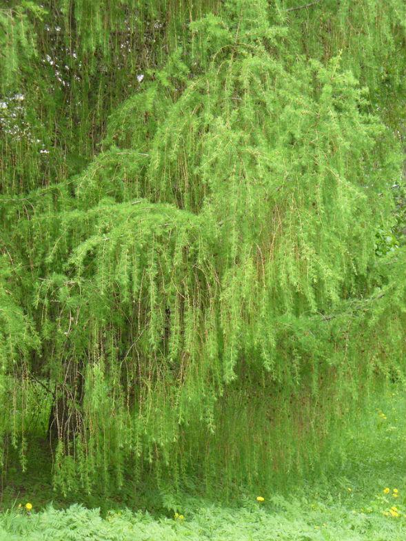 Дерево Лиственницы Польской