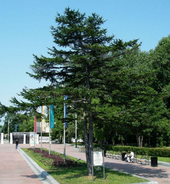 Дерево Модрини Курильської