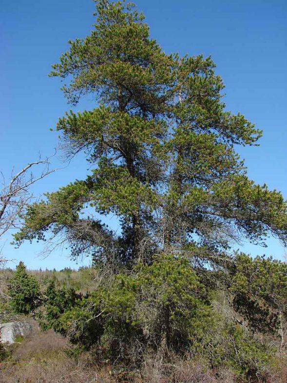 Дерево Сосны Банкса