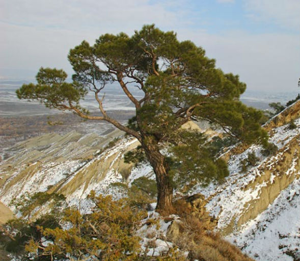 Дерево Сосни Ельдарської