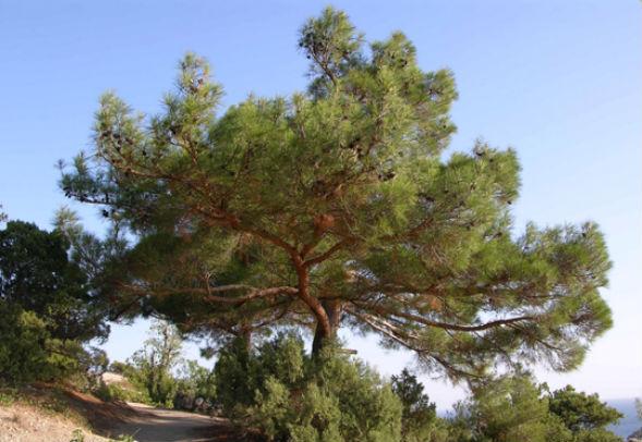 Дерево Сосни Палласа, Кримської