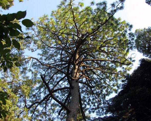Дерево Сосны Монтесума Белой