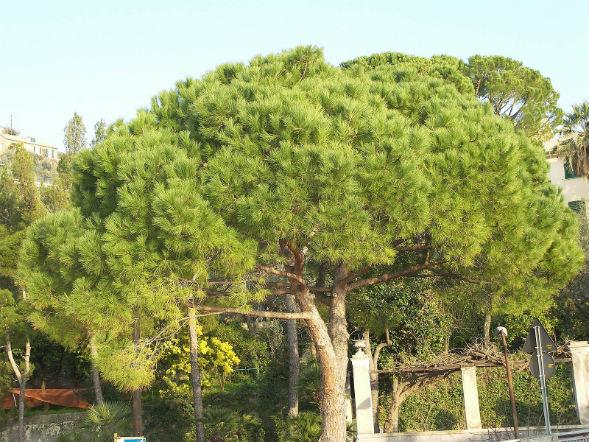 Дерево Сосны Приморской Звездчатой