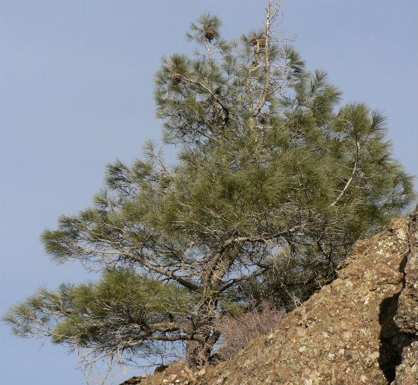 Дерево Сосны Сабина Белой Калифорнийской