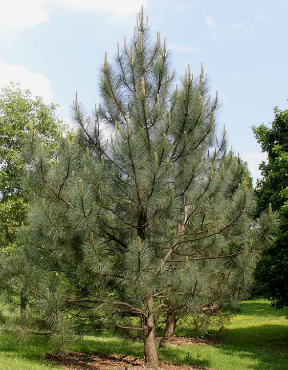 Дерево Сосны Культера